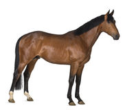 Crossbreed horse Stock Photo