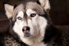 Crossbreed husky malamut Stock Images