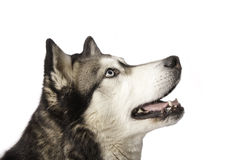 Crossbreed husky and malamut looking Stock Photo
