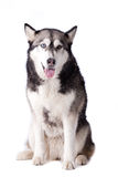 Crossbreed husky and malamut looking happy Stock Photos