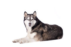 Crossbreed husky and malamut looking at you Stock Photos