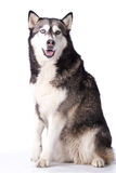 Crossbreed husky and malamut paying attention Stock Images