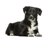 Crossbreed Stock Photos