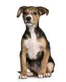 Crossbreed with a Jack Russell and a pincher puppy Stock Photography