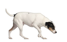 Crossbreed with a Jack Russell Terrier Royalty Free Stock Images