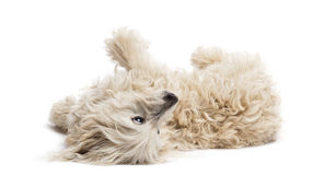 Crossbreed lying and rolling over Royalty Free Stock Images