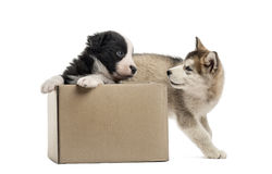 Crossbreed and malamute puppies with a box isolated on white Stock Photos