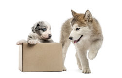 Crossbreed and malamute puppy with a box isolated on white Royalty Free Stock Photos