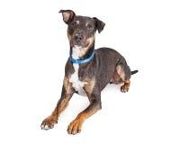 Crossbreed Medium Dog Perky Ears Royalty Free Stock Image