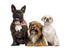 Crossbreed psa między Amstaff, buldogiem i Crossbreed Obraz Royalty Free