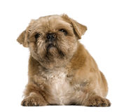 Crossbreed between a Pug and a Shih Tzu Royalty Free Stock Image