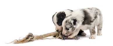 Crossbreed puppies playing with a rope isolated on white Royalty Free Stock Photography