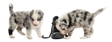 Crossbreed puppies playing with a shoe isolated on white Stock Photos