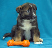 Crossbreed puppy  dog on a blue background Stock Images