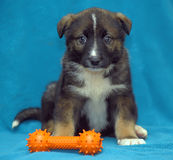 Crossbreed puppy  dog on a blue background Royalty Free Stock Photo