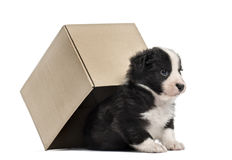 Crossbreed puppy getting out of a box isolated on white Royalty Free Stock Photos