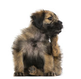 Crossbreed puppy scratching itself (2 months old). Isolated on white stock photo