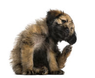 Crossbreed puppy scratching itself (2 months old) Stock Images