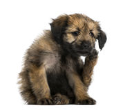 Crossbreed puppy scratching itself (2 months old) Royalty Free Stock Image