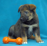 Crossbreed puppy shepherd dog on a blue background Royalty Free Stock Photos
