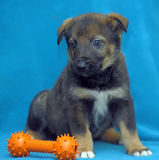 Crossbreed puppy shepherd dog on a blue background Royalty Free Stock Images