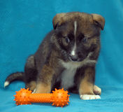 Crossbreed puppy shepherd dog on a blue background Stock Photography