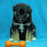 Crossbreed puppy shepherd dog on a blue background Stock Photo