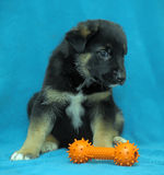 Crossbreed puppy shepherd dog on a blue background Royalty Free Stock Photo