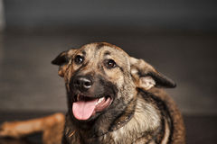 Crossbreed puppy Shepherd Royalty Free Stock Images