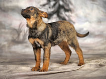 Crossbreed puppy Stock Photography