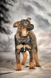 Crossbreed puppy Royalty Free Stock Images