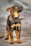Crossbreed puppy Royalty Free Stock Photo