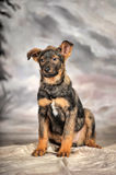 Crossbreed puppy Stock Image