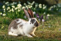 Crossbreed rabbit. Vigilant rabbit on meadow, bunny's free, early spring Stock Image