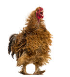 Crossbreed rooster crowing, Pekin and Wyandotte Royalty Free Stock Images