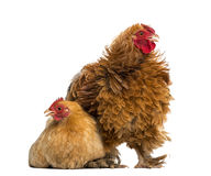 Crossbreed rooster, Pekin and Wyandotte Royalty Free Stock Image