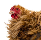 Crossbreed rooster, Pekin and Wyandotte Royalty Free Stock Photo