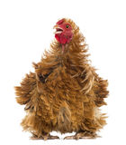 Crossbreed rooster, Pekin and Wyandotte, looking Royalty Free Stock Photo