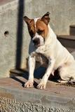 Crossbreed stray dog Royalty Free Stock Image