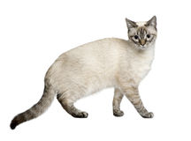 Crossbreed between a siamese and a tabby (9 months Stock Photography