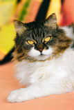 Crossbreed Siberian and persian cat Royalty Free Stock Photo