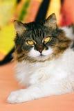 Crossbreed Siberian and persian cat. Portrait of crossbreed Siberian and persian cat Royalty Free Stock Photo