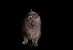 Crossbreed of siberian and persian cat on a black background Royalty Free Stock Photos