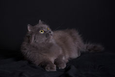 Crossbreed of siberian and persian cat lying on dark background Royalty Free Stock Photo