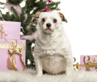 Crossbreed sitting in front of Christmas decorations Stock Image