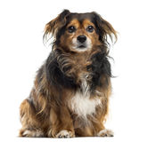 Crossbreed sitting. In front of a white background stock image