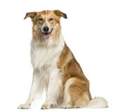 Crossbreed sitting Stock Images