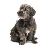 Crossbreed sitting and looking away Stock Photography