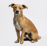 Crossbreed sitting and looking at the camera, on grey Royalty Free Stock Photo