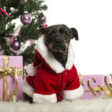 Crossbreed sitting and wearing a Christmas suit in front of Christmas decorations Royalty Free Stock Photo